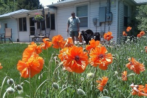 Our poppies, surrounding the yard.