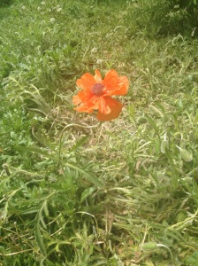 First poppy of this season