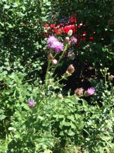 Blooming backyard thistle